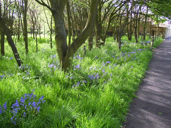 Bluebells-at-the-Braid-(BL)