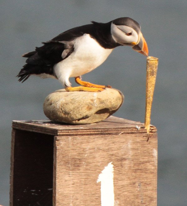 """Olympic Champion"" Puffin on Coquet Island."