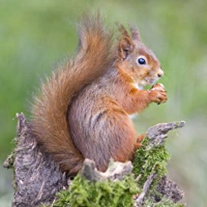 12RED-SQUIRREL
