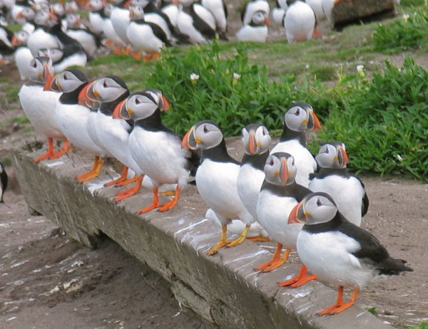 puffins-in-a-row