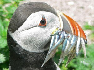 puffin-with-lunch