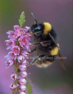 Bee-Graham-Dixon