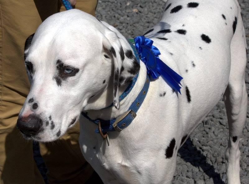 Dog show blue ribbon (FH)