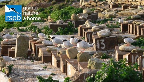 Roseate-Terns-on-Coquet-Isl