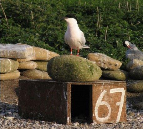 Roseate Tern on Coquet Island