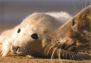Atlantic-Grey-Seal-(George-