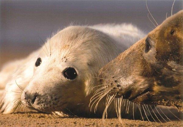 Atlantic-Grey-Seal-(George-