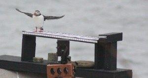 puffin-band-1