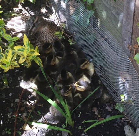 Ducklings-nesting-in-garden