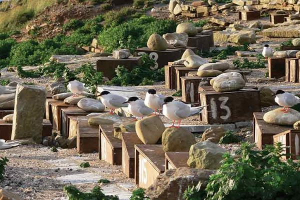 Captain Coquet's Corner: Roseate Tern City