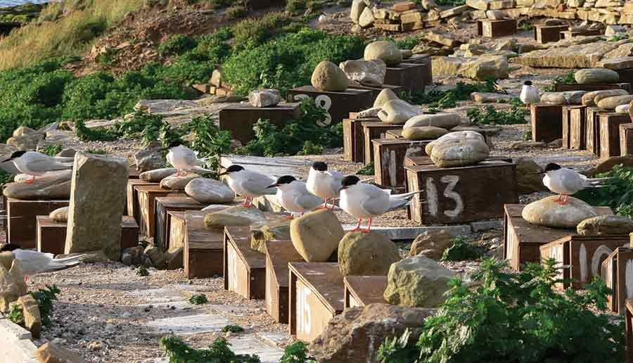 Coquet Island is home to the sole UK colony of the extremely rare Roseate Terns