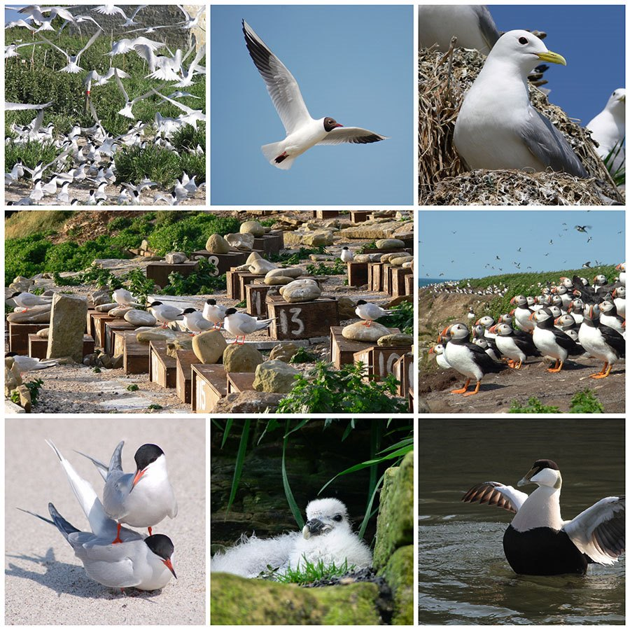 Photos by Paul Morrison. clockwise from top left: Sandwich terns, Black-headed gull, kittiwake, Roseate terns, Puffins, Common tern, young Fulmar, male Eider