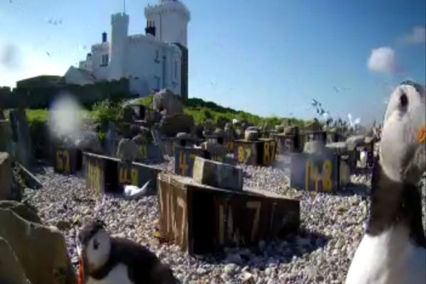 Live bird feed shows puffins and roseate terns on Coquet Island