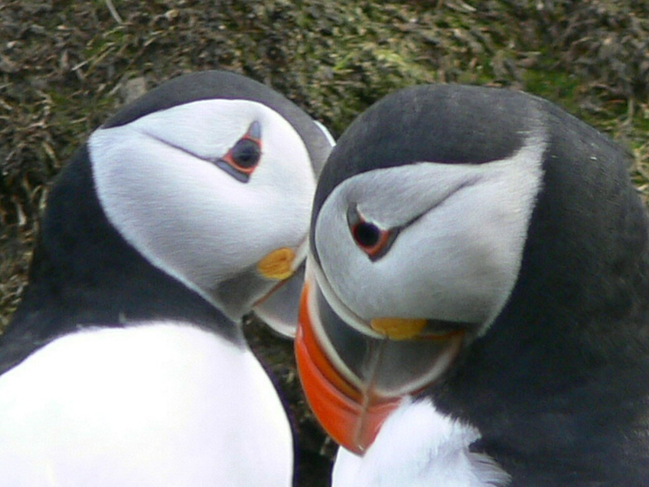 two-puffins
