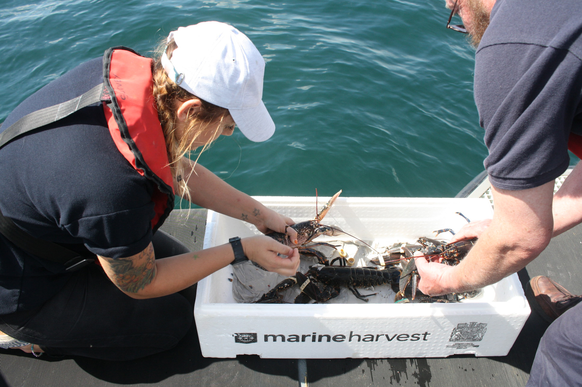 releasing lobsters