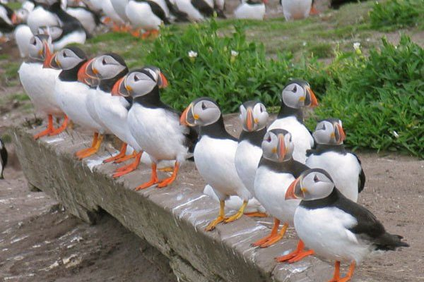 Why the Tommy Noddies love Coquet Island