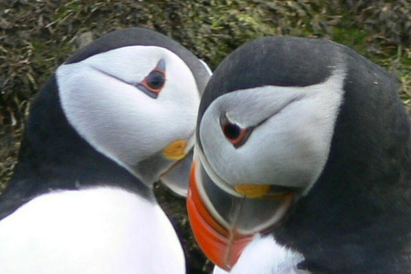Puffin disaster looming